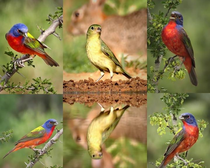 painted-bunting-collage-1