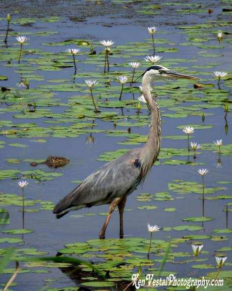 Blue Heron (and alligator)