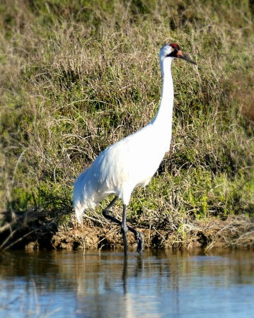 whooping-crane